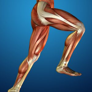 image of muscles and tendons